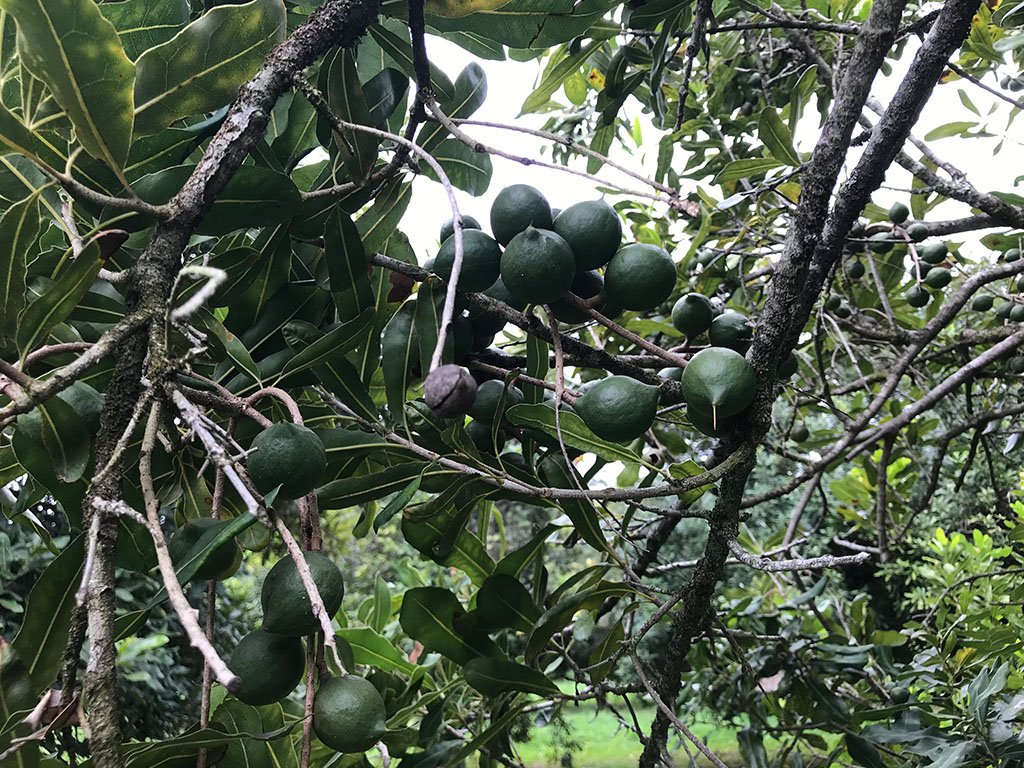Improved Turf Options for the Macadamia Industry -